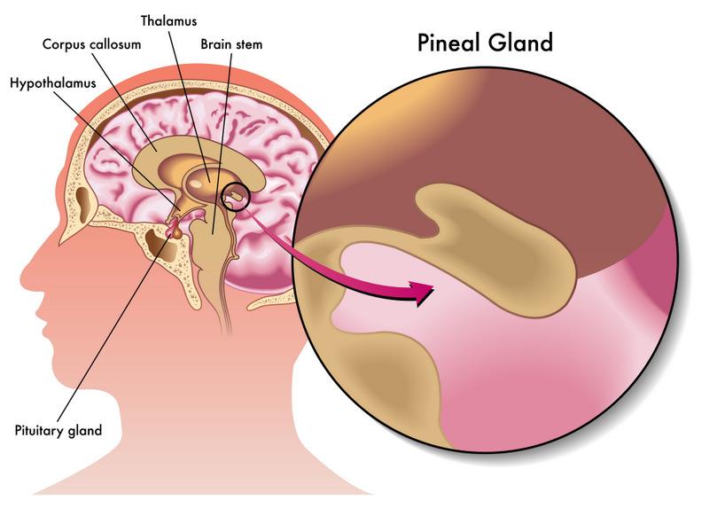 glande pinéale